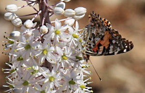 Painted lady settles on squill