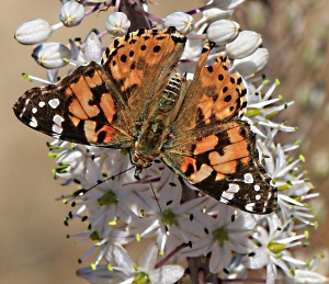 Painted lady opens her wings