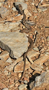 I thought this was an Ottoman Viper but checked and it was identified as a Coin-marked snake.