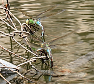Female dragonflies lay their eggs from a rusty fence, well above water-level by September