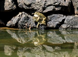 Green toads  doing what comes naturally on a rock in May 2014,  high above water level in October