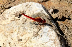 Red-veined Darter on a rock now away from the water