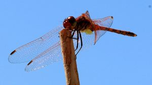 Disporting himself on a stick, a male showing the yellow at the base of the wings which helps distinguish it from other red dragonflies