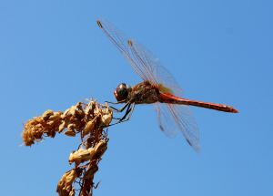Even in October the vividly coloured male Red Veined Skimmers still disport themselves on the top of stalks