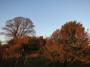 Burnished by setting sun. holly tree on the ridge, the Folly coming into sight