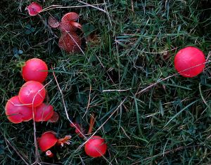 Leaving Scarlet Hood mushrooms in the grass, edible but too attractive to pick