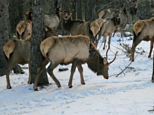The elk herd moves gently off further into the woodland