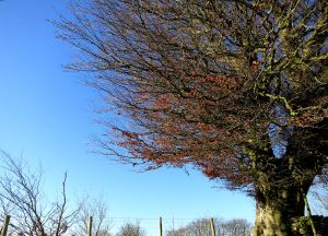 On way up to the top of the ridge a beech tree still clings onto its autumn leaves despite the wind