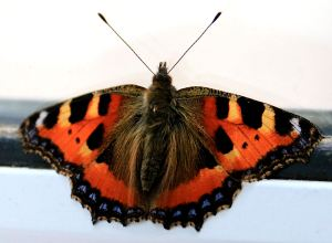 Large Tortoiseshell still sheltering in the house