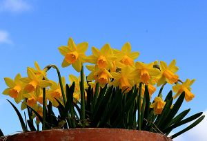 Daffodils open for St David's Day
