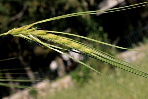 A reminder of the Mediterranean's agricultural wealth from classical times - wild barley (I think)