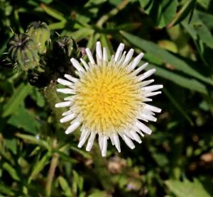 Type of dandelion ?
