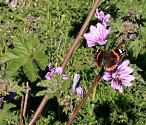 Butterfly and mallow