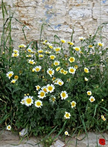 Crown Daisies, known amongst other names as 'edible chrysanthemums, against an old wall
