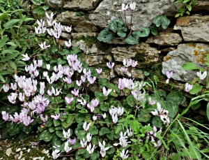 A cluster of cyclamen at the base of a stone retaining wall