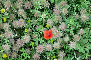 A single poppy catches the eye in a dense mat of other small flowers including star clover