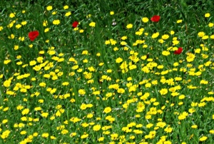 Crown Daisies fill terraced fields, splashed by poppies