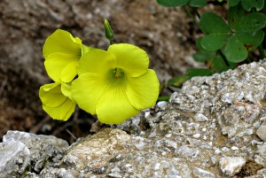 Bermuda Buttercup, neither from Bermuda nor a buttercup