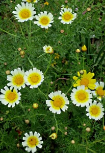 Closer view of Crown Daisies, some of which are entirely yellow