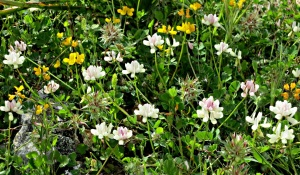 In places varieties of clover and other flowers just mass together like a rich shag-pile carpet
