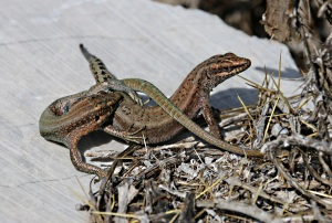 Oertzeni lizards – fight or foreplay?