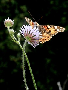 Butterflies are attracted to the cornflowers