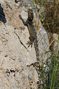 Adolescent Painted Dragon lizard, wary of me but not bothered by the sharp rock
