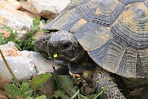 30 cm tortoise munching on flower head