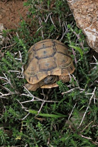 6 cm tortoise stuck in thyme