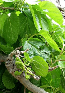 Fruit on the mulberry