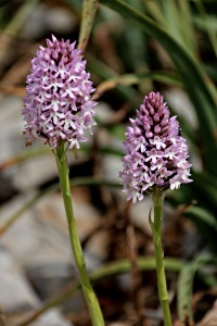 Pyramid orchids high on a ridge above Pedi Bay