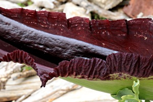 Detail of Dragon Arum, this spathe was over 70cms long