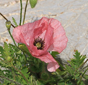Pink poppy, common in garden centres but rarely found in the wild.