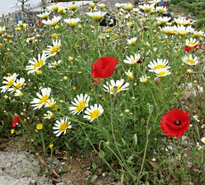 Two of the most flamboyant plants in April on Symi, Crown Daisies and poppies