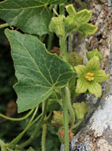Found on the top of a ridge I think this may be a variety of Squirting Cucumber (Ecballium elaterium).  I'll need to go back to check when it fruits. Or it may be a Convolvuls.  Or Something Else Entirely.