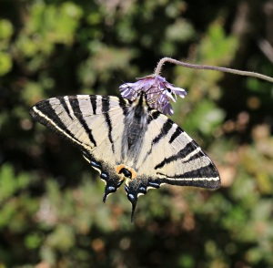Scarce Swallowtail settles fleetingly on cornflower