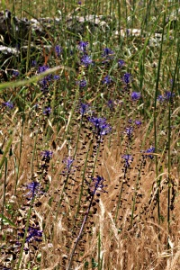 Inside the walls of a monastery and protected from the goats, tall grasses and Tassel Hyacinths