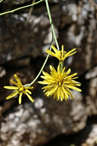 I think this is Goat's Beard (Tragopogon pratensis) but it may be Viper's Grass (Scorzonera humilis)