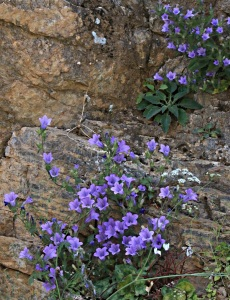 Campanula growing out of a crag