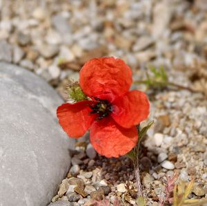 A poppy dwarfed by the arid conditions