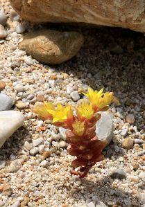 2 cms high Sedum in full flower