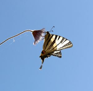 Scarce Swallowtail on a cornflower growing in the top of a wall, backlit by early morning sun