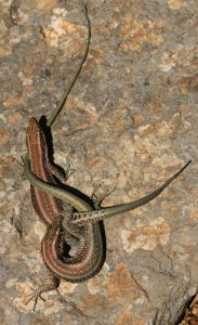 Oertzeni lizards, I still don't know whether fight or foreplay but having seen several in the same position I suspect the latter