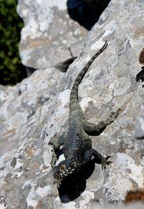 Painted dragon lizard, very wary