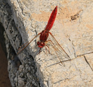 Red Darter disporting himself on the rocks slabs by the pond at Gria