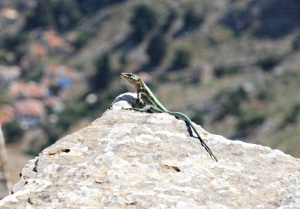 High above the harbour, a bright green Oertzeni lizard is king of the rock