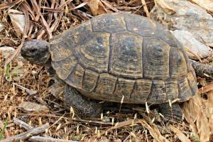 large, dark-shelled tortoise wandering across