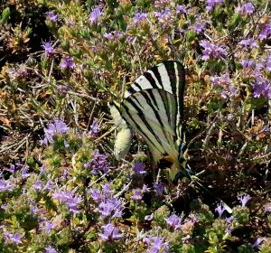 On the way up I spotted, settled on the thyme, one of the largest Scarce Swallowtails I've ever seen,