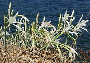 Clumps of Sea Daffodils line the edge of the sandy foreshore