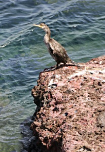 A Mediterranean shag on red lava close to the sea